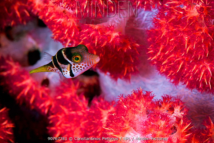 Black saddled toby (Canthigaster valentini) hiding among the branches of a Red Soft Coral Tree (Dendronephthya sp.), Lembeh Strait, North Sulawesi, Indonesia.