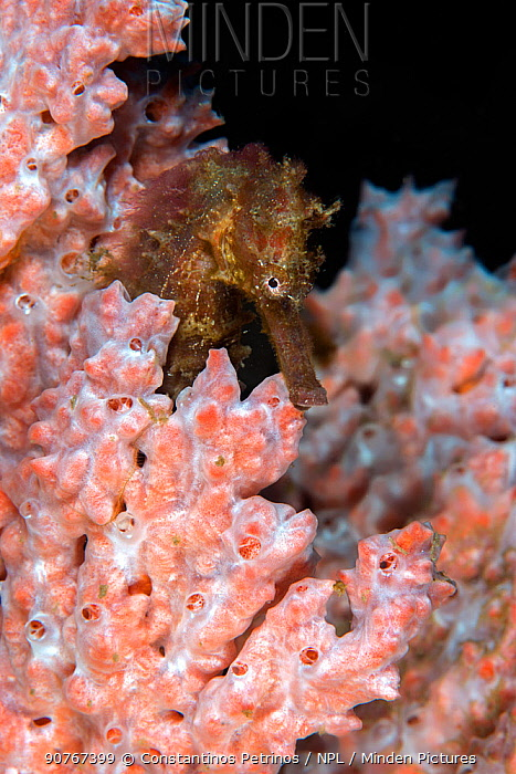 Estuary seahorse (Hippocampus kuda) in orange sponge. Lembeh Strait, North Sulawesi, Indonesia.