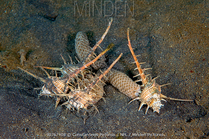 Caltrop murex (Murex Tribulus) laying their egg masses on muddy seafloor of the Lembeh Lembeh Strait, North Sulawesi, Indonesia.