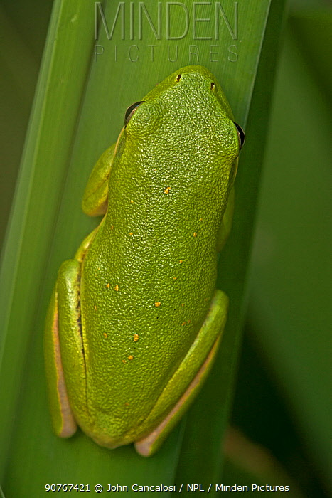 American green treefrog (Hyla cinerea) Virginia, USA, September.