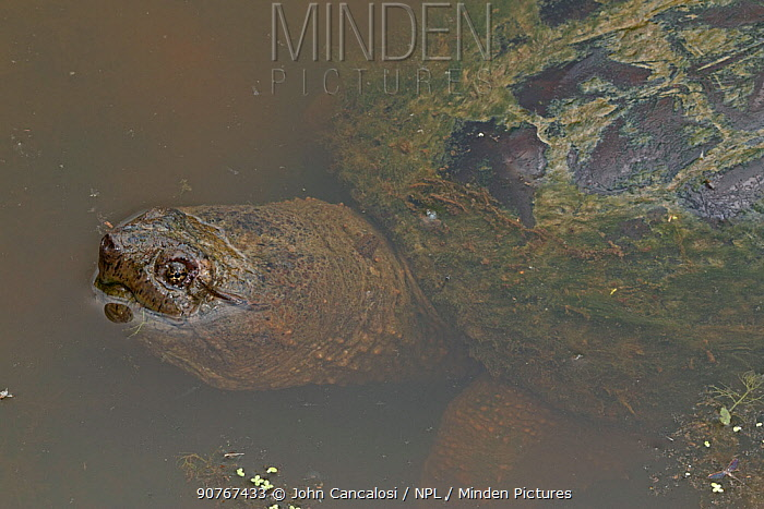 Snapping turtle (Chelydra serpentina) in water, Virginia, USA, September.