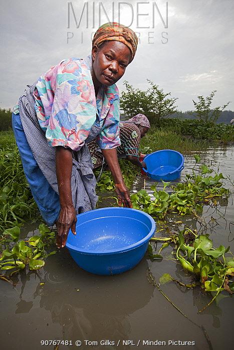 Women with plastic tubs for washing clothes wading out to reach lake edge beyond invasive Water hyacinth (Eichhornia crassipes) Kisumu region, Lake Victoria, Kenya, December 2013.
