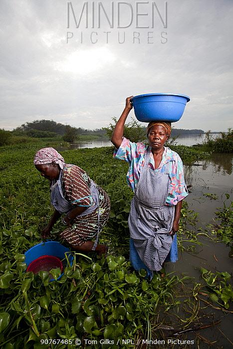 Women carrying plastic washing bowl on head wade through invasive Water hyacinth (Eichhornia crassipes) to reach lake edge, Kisumu region, Lake Victoria, Kenya