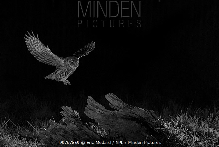 Little owl (Athene noctua) flying at night, Mayenne, France, February. Taken with infra red camera.