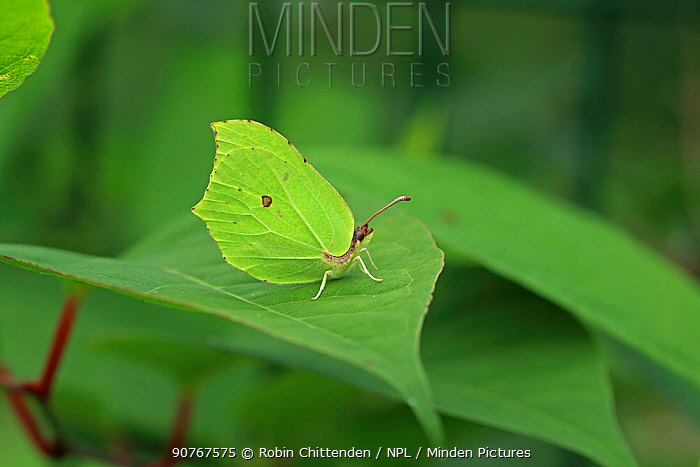 Common brimstone butterfly (Gonepteryx rhamni) Brittany, France, August.