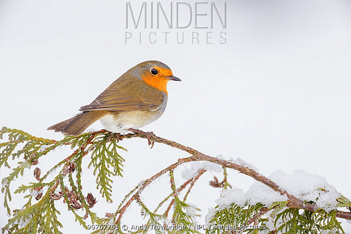 European robin (Erithacus rubecula) perched on snowy branch, Southern Norway. January.