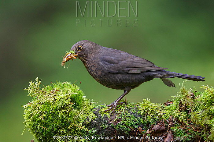 Blackbird (Turdus merula) female standing on moss covered log collecting food (beetle larvae) in beak. Southern Norway. May.