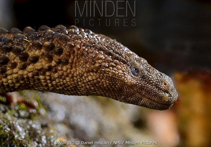 Earless monitor lizard (Lanthanotus borneensis) venomous species, captive from Borneo.