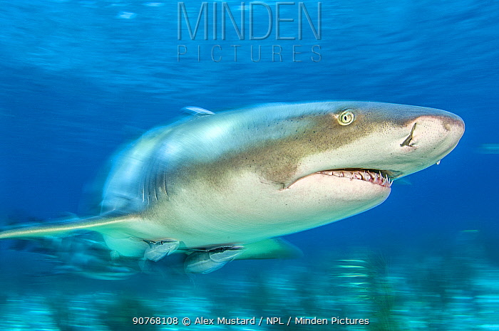Lemon shark (Negaprion brevirostris) accompanied by Remoras (Echeneis naucrates) in shallow water. Little Bahama Bank. Bahamas. Tropical West Atlantic Ocean.