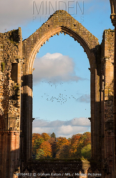 Archway at Fountains Abbey framing a flock of birds that were disturbed by a Peregrine falcon, Ripon, Yorkshire, England, UK, November 2016.
