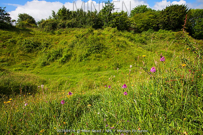 Wild flowers, including Pyramidal orchid (Anacamptis pyramidalis) on chalk downland Broughton Down Hampshire and Isle of Wight Wildlife Trust Reserve near Broughton Hampshire England UK June 2016