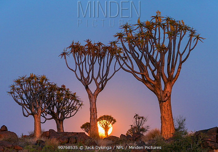 Quiver trees (Aloe dichotoma) with full moon rising, Namib Desert. Namibia.