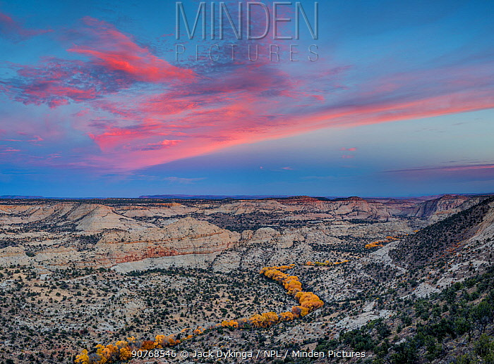 Cottonwood (Populus fremontii) trees forming a sinuous line of yellow trees at sunset, in Deer Creek Canyon, Grand Staircase-Escalante National Monument,  Utah, USA