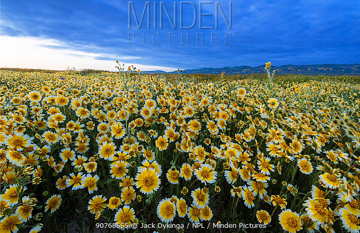 Massive wildflower display of Tidy-tips (Layia platyglossa) The Temblor Range in evening light in the background.  Carrizo Plain National Monument, California, USA. March 2017.