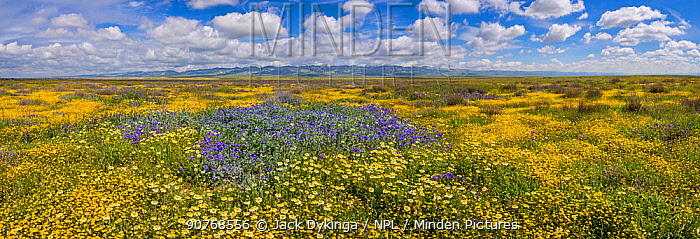 Massive wildflower display. Lanceleaf monolopia (Monolopia lanceolata) Great valley phacelia (Phacelia civiliata), Tidy-tips, (Layia platyglossa)  The Temblor Range, also carpeted in flowers,  in evening light in the background.  Carrizo Plain National Monument, California, USA. March 2017.