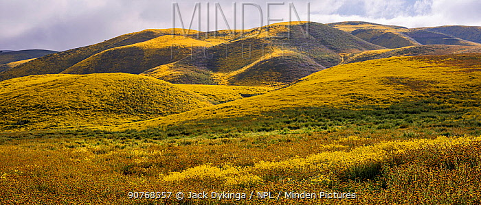 Massive wildflower display with Lanceleaf monolopia (Monolopia lanceolata), and Orange fiddle neck (Amsinckia intermedia) The Temblor Range, also carpeted in flowers,  in evening light in the background.  Carrizo Plain National Monument, California, USA. March 2017.