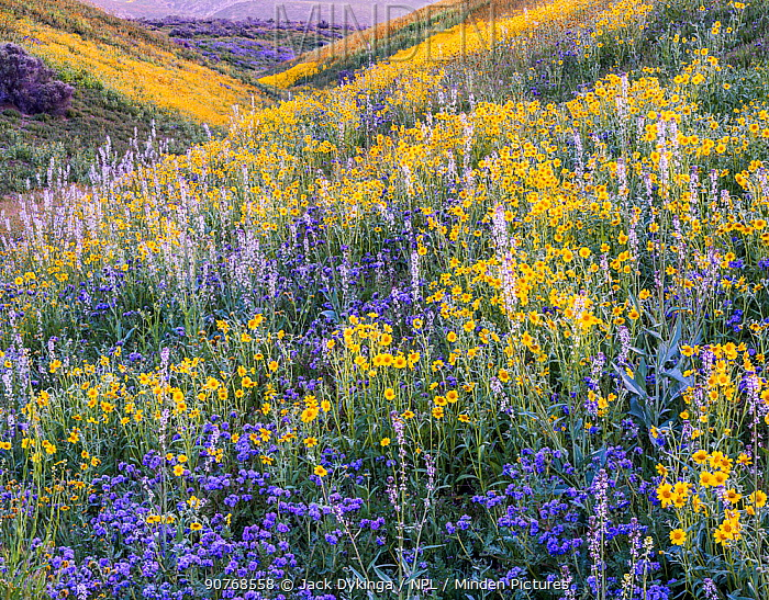 Massive wildflower display Lanceleaf monolopia (Monolopia lanceolata) Great Valley phacelia (Phacelia civiliata) and purple Lemmon's mustard (Caulanthus anceps) The Temblor Range  in evening light in the background.  Carrizo Plain National Monument, California, USA. March 2017.