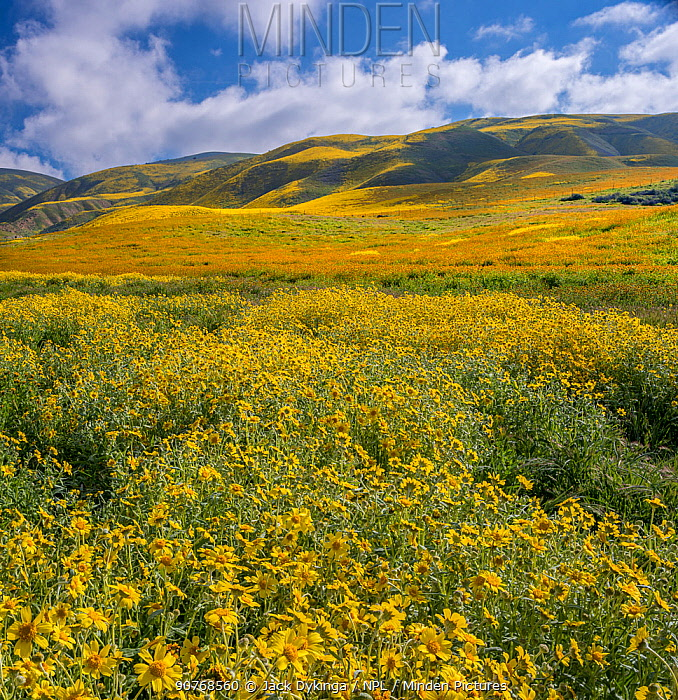 Massive wildflower display with Lanceleaf monolopia (Monolopia lanceolata), and Orange fiddle neck (Amsinckia intermedia) The Temblor Range also carpeted with flower in the background in evening light. Carrizo Plain National Monument, California, USA. March 2017.