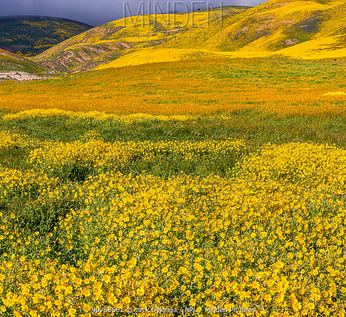 Massive wildflower display with Lanceleaf monolopia (Monolopia lanceolata) and Tidy-tips, (Layia platyglossa)  The Temblor Range also carpeted with flower in the background in evening light. Carrizo Plain National Monument, California, USA. March 2017.