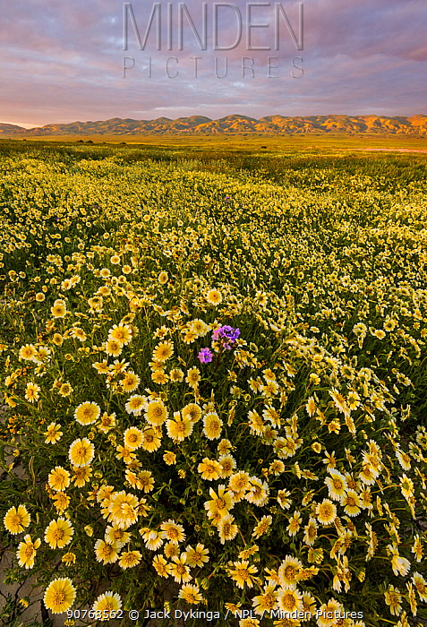 Massive wildflower display with Tidy-tips (Layia platyglossa)  Great Valley phacelia (Phacelia ciliata).  The Temblor Range also carpeted with flower in the background in evening light. Carrizo Plain National Monument, California, USA. March 2017.