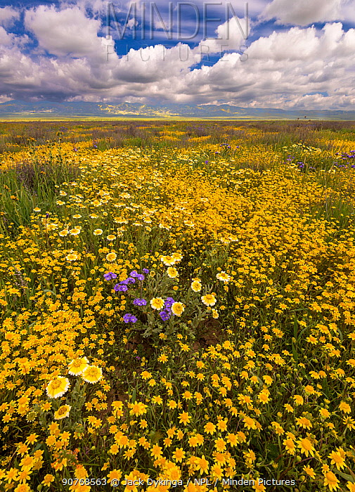 Massive wildflower display with Lanceleaf monolopia (Monolopia lanceolata) Great Valley phacelia (Phacelia civiliata) and Tidy-tips (Layia platyglossa). The Temblor Range also carpeted with flower in the background in evening light. Carrizo Plain National Monument, California, USA. March 2017.