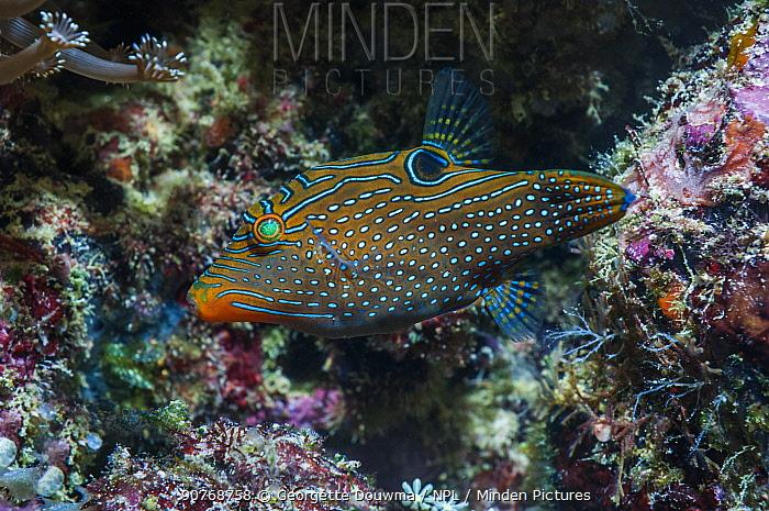 Fingerprint / Compressed toby fish (Canthigaster compressa), West Papua, Indonesia.