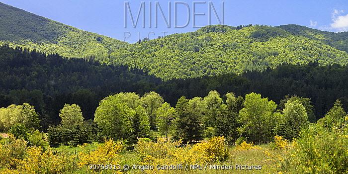 Giant  Austrian pine (Pinus nigra calabrica) trees, Fallistro,  Sila National Park,  Calabria, Italy, June.