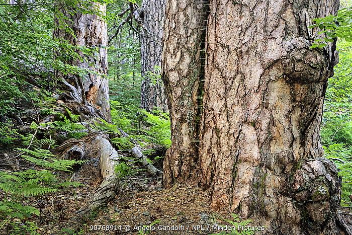 Giant  Austrian pine (Pinus nigra calabrica) tree trunks, Fallistro,  Sila National Park,  Calabria, Italy, June.