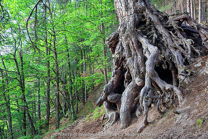Austrian pine (Pinus nigra calabrica) tree with exposed gnarled roots, Sila National Park,  Calabria, Italy. June.