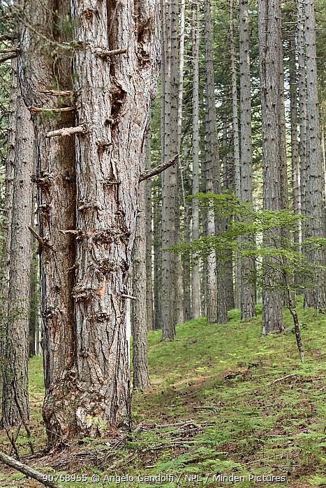 Austrian pine (Pinus nigra calabrica) Sila National Park,  Calabria, Italy. June.