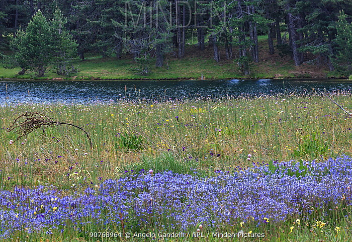 Meadow with blue flax (Linum bienne) flowering, Sila National Park,  Macchialonga valley, Calabria, Italy, June.