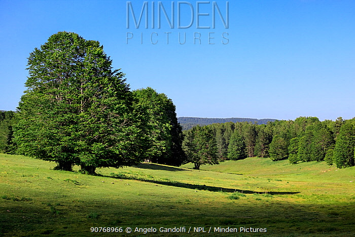 Uplands in Sila National Park with mixed Beech (Fagus sylvatica) and Austrian pine (Pinus nigra calabrica) forest, Sila National Park,  Calabria, Italy, June.