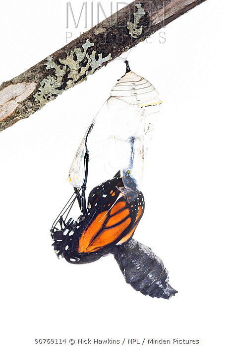 Monarch butterfly (Danaus plexippus) emerging from chrysalis, photographed on white. New Brunswick, Canada, September. Sequence 4 of 8
