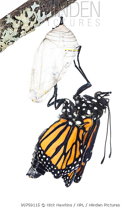Monarch butterfly (Danaus plexippus) emerging from chrysalis, photographed on white. New Brunswick, Canada, September. Sequence 5 of 8