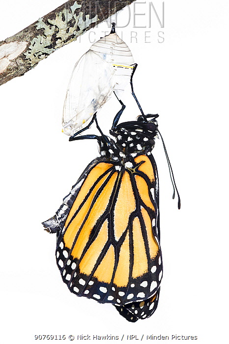 Monarch butterfly (Danaus plexippus) emerging from chrysalis, photographed on white. New Brunswick, Canada, September. Sequence 6 of 8