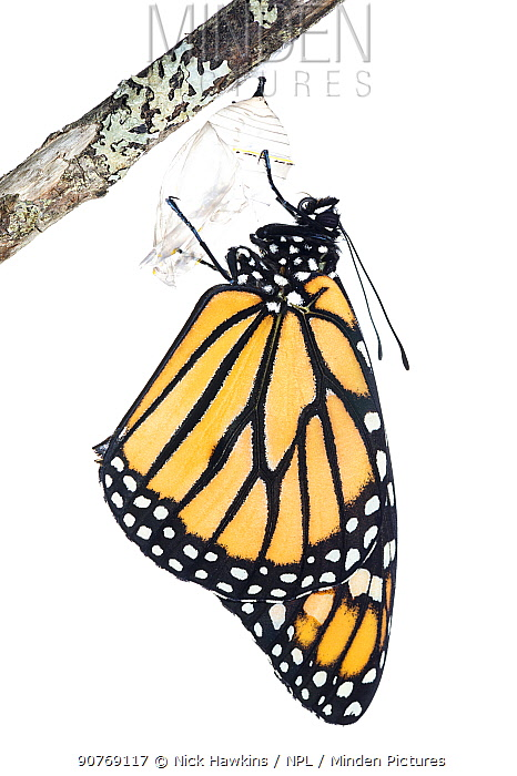 Monarch butterfly (Danaus plexippus) emerging from chrysalis, photographed on white. New Brunswick, Canada, September. Sequence 7 of 8