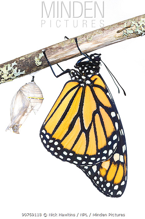 Monarch butterfly (Danaus plexippus) emerging from chrysalis, photographed on white. New Brunswick, Canada, September. Sequence 8 of 8