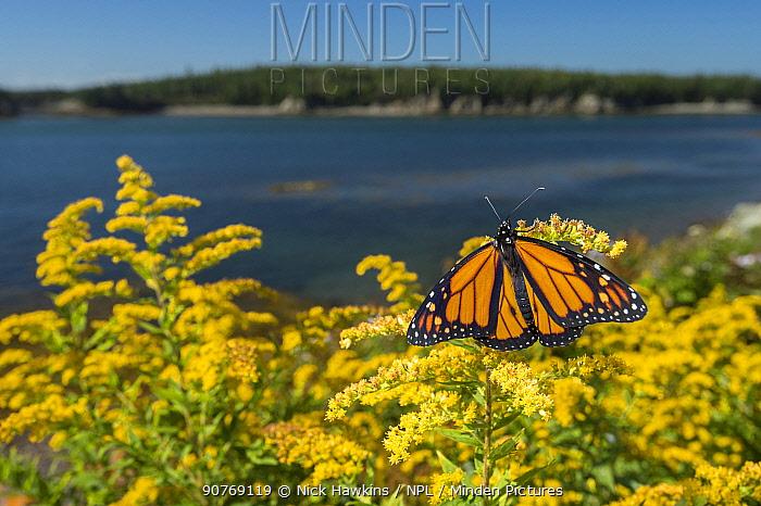 Monarch butterfly (Danaus plexippus) feeding on Goldenrod, New Brunswick, Canada, September.