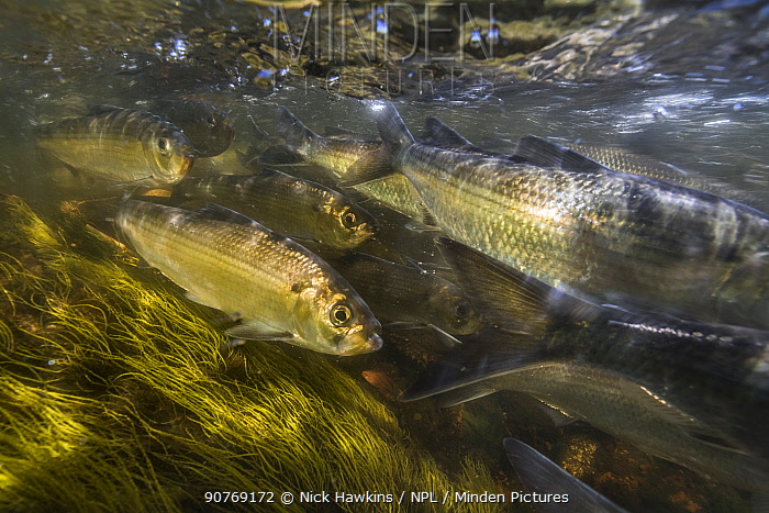 Alewives (Alosa pseudoharengus) fish  migrating up a river in Northern Maine, USA. June.