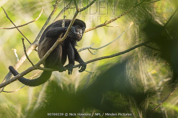 Mantled howler monkey (Alouatta palliata) with bokeh, Costa Rica.