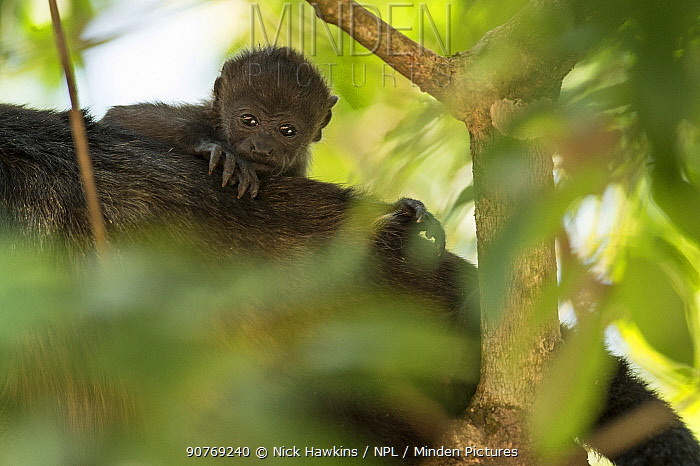 Mantled howler (Alouatta palliata) riding on mothers back, Costa Rica.