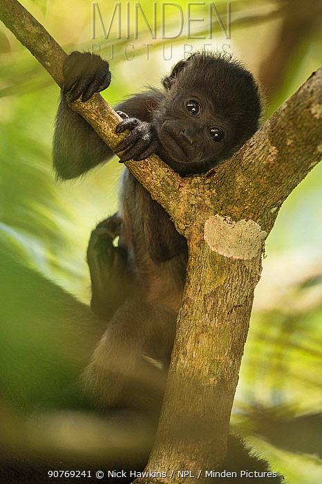 Mantled howler monkey (Alouatta palliata) Costa Rica, March.