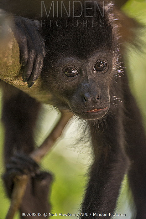 Mantled howler monkey (Alouatta palliata) Costa Rica.