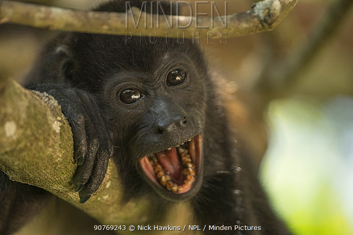 Mantled howler monkey (Alouatta palliata) calling,  Costa Rica.