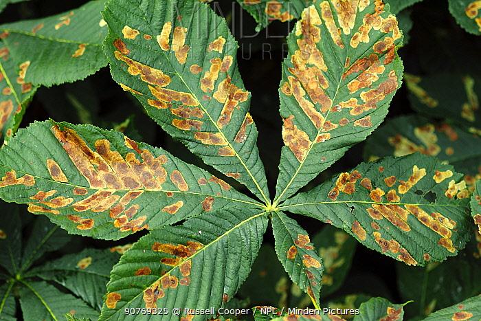 Horse Chestnut leaf (Aesculus hippocastanum) infected by Mining moth caterpillar (Cameraria nemoralis) Southwest London, England, UK, July.