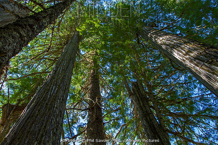 Western red cedar tree (Thuja plicata) in old growth forest, Wells Grey Provincial Park, British Columbia, Canada. July.