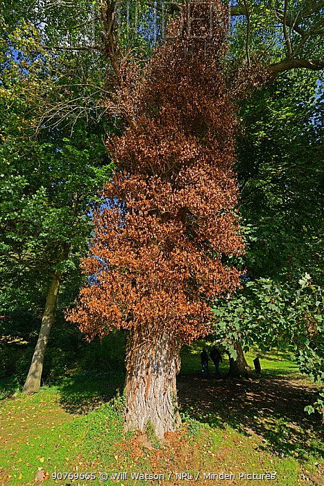 Dead Ivy (Hedera helix) on Poplar (Poplus sp.) tree, The Weir Garden, National Trust, Kenchester, Hereforshire, England, UK, October