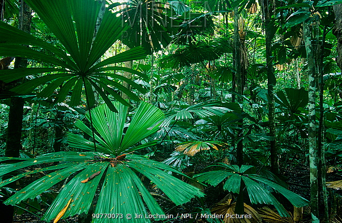 Fan Palms (Licuala ramsayi), in tropical rainforest, Daintree National Park, Wet Tropics of Queensland UNESCO Natural World Heritage Site, Queensland, Australia.