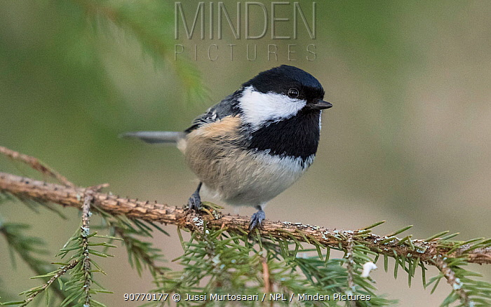 Coal tit (Parus ater) perched, Finland, January.