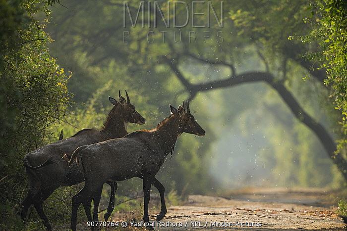 Nilgai (Boselaphus tragocamelus) young bulls, Keoladeo / Bharatpur National Park UNESCO Natural World Heritage Site,  India
